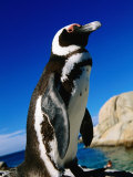 African (Jackass) Penguin (Spheniscus Demersus)  Boulders  False Bay  Simon's Town  South Africa