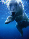 Polar Bear Swimming Underwater in Alaska Zoo  USA