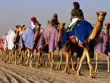 Race Camels Walk to Kuwait Camel Racing Club for Training Session  Kuwait