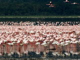 Flamingoes  Lake Nakuru National Park  Kenya