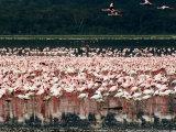 Flamingoes  Lake Nakuru National Park  Kenya