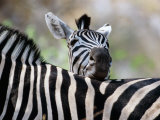 Adult Burchells Zebra Resting Head on Back of Another  Moremi Wildlife Reserve  Botswana