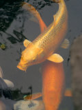 Huge Gold Fish in Pond at Senso-Ji Temple  Tokyo  Japan