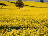 Field of Oil-Rape Seed  Spring  Harvington  United Kingdom