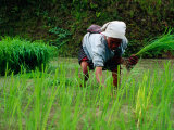 Ifugao Women Transplanting Rice  Banaue  Philippines