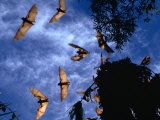 Flying Foxes (Bats) at Dusk  Mataranka  Australia