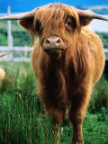 Highland Cow  Hope  United Kingdom
