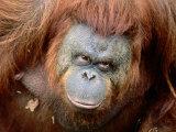 Orang-Utan in Zoo  Taman Safari Indonesia  Surabaya  Indonesia