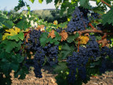 Grapes Growing at Mirassou Vineyards  San Jose  USA