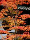 Autumn Leaves at Eikando Temple  Kyoto  Japan