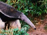Captive Giant Anteater (Myrmecophaga Tridactyla)  Brazil