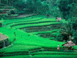 Rice Fields  Cultivation  Bali  Indonesia