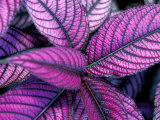 Fond Dous Estate  Persian Shield  St Lucia  Caribbean