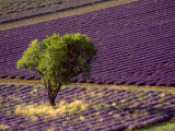 Lavender Field in High Provence  France