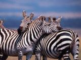 Burchell's Zebra  Masai Mara  Kenya