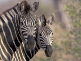 Burchell's Zebra  Zimbabwe