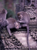Long-tailed Macaques in Sacred Monkey Forest  Bali  Indonesia