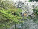 Sakura  Koishikawa Koraku-en Garden  Tokyo  Japan