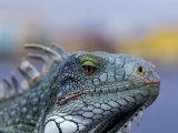 Iguana  Curacao  Caribbean