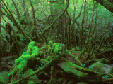 Yakushima Rainforest  Kagoshima  Japan