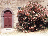 Door and Pink Oleander Flowers  Lucardo  Tuscany  Italy