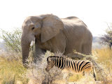 African Elephant and Zebra at Namutoni Resort  Namibia