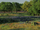 Late Afternoon Light on Field of Texas Paintbrush and Bluebonnets  Hill Country  Texas  USA