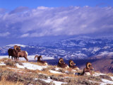 Six Bighorn Rams  Whiskey Mountain  Wyoming  USA