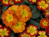 Orange Primroses Pattern  Washington  USA