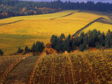 Fall Colors in Vineyards of the Red Hills  Dundee  Oregon  USA
