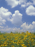 Black-Eyed Susans and Clouds  Oldham County  Kentucky  USA