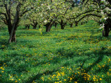Apple Orchard in Full Bloom  Hood River  Oregon  USA