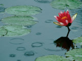 Raindrop Patterns Imitate Lily Pad on Laurel Lake  near Bandon  Oregon  USA