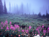 Foggy Alpine Meadow  Mt Rainier National Park  Washington  USA