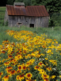 Black Eyed Susans and Barn  Vermont  USA