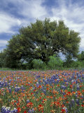 Paintbrush and Bluebonnets and Live Oak Tree  Marble Falls  Texas Hill Country  USA
