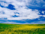 Field of Canola or Mustard flowers  Palouse Region  Washington  USA