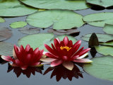 Red Flowers Bloom on Water Lilies in Laurel Lake  South of Bandon  Oregon  USA