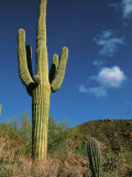 Saguaro Cactus in Sonoran Desert  Saguaro National Park  Arizona  USA