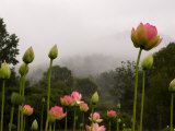 Lotus with Mountains and Fog in the Background  North Carolina  USA