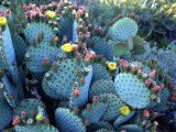 Beavertail Cactus  Desert Botanical Gardens  Phoenix  Arizona  USA