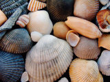Shells on Edisto Beach  Edisto Beach State Park  South Carolina  USA
