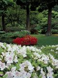 Azaleas in Japanese Garden  Portland  Oregon  USA