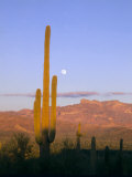 Moonrise Over Saguaro Cactus and Ajo Mountains  Organ Pipe National Monument  Arizona  USA