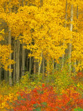 Quaking Aspen and Sumac  Routt National Forest  Colorado  USA