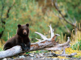 Brown Bear Cub in Katmai National Park  Alaska  USA
