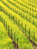 Mustard Plants in Vineyard  Napa Valley Wine Country  California  USA