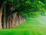 Stately Row of Trees  Louisville  Kentucky  USA