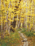 Jessup Trail and Birch in Fall Color  Acadia National Park  Maine  USA