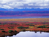 Two Moose in a Pond with Fall Tundra  Denali National Park  Alaska  USA
